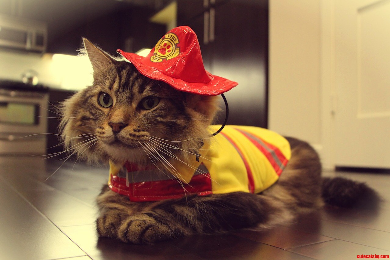 My little firefighter cat — Magnus the maine coon