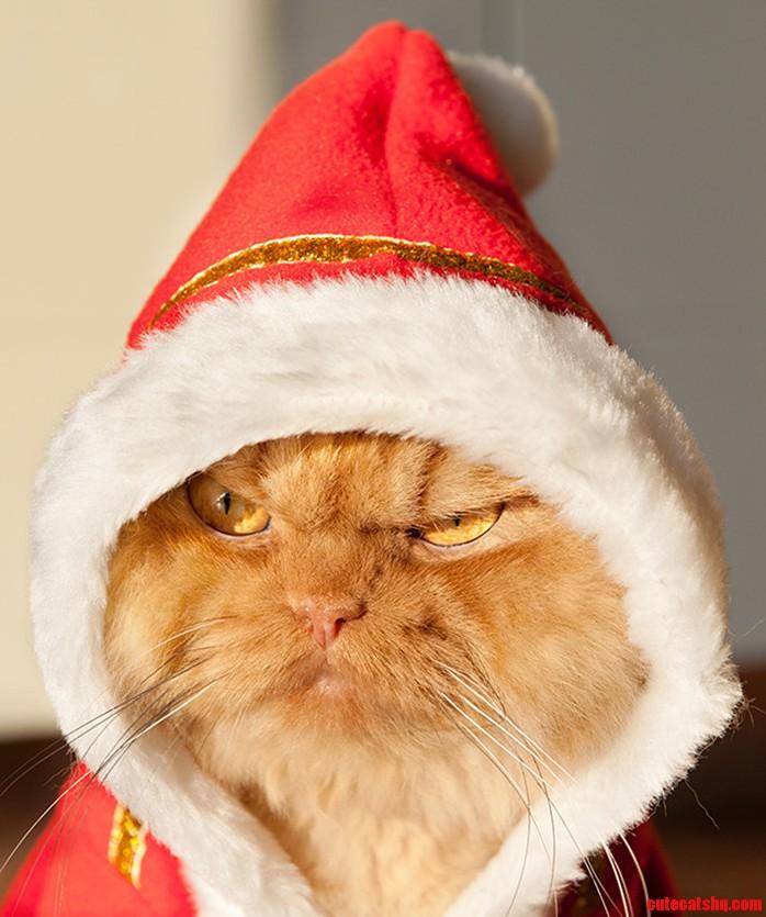 One pissed off cat in a santa costume