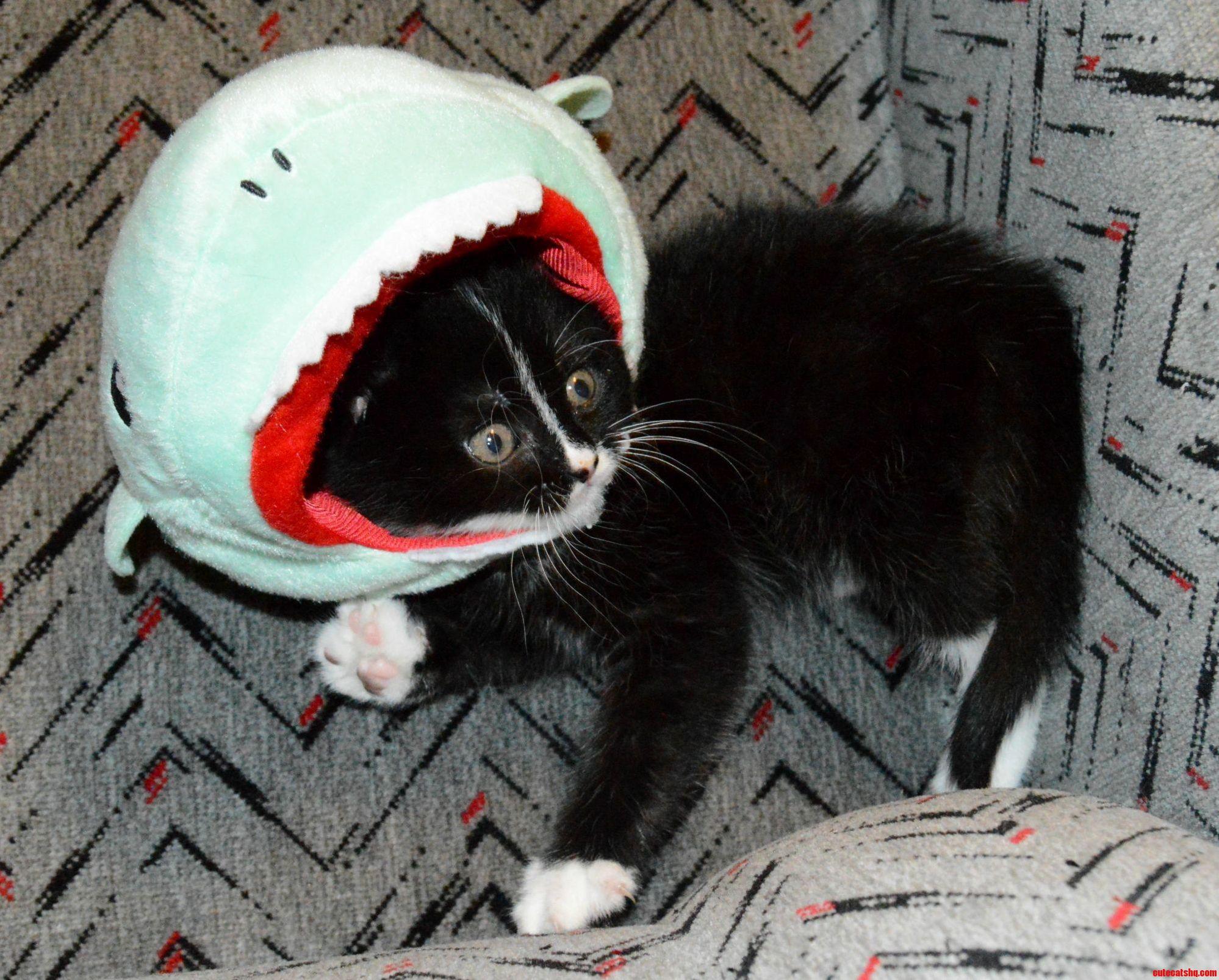 Shark kitty