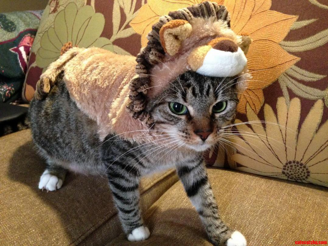 graytons halloween costume | cute cats hq - pictures of cute cats