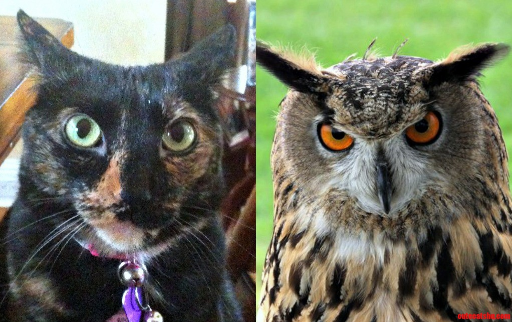 My cat uncannily resembles an owl
