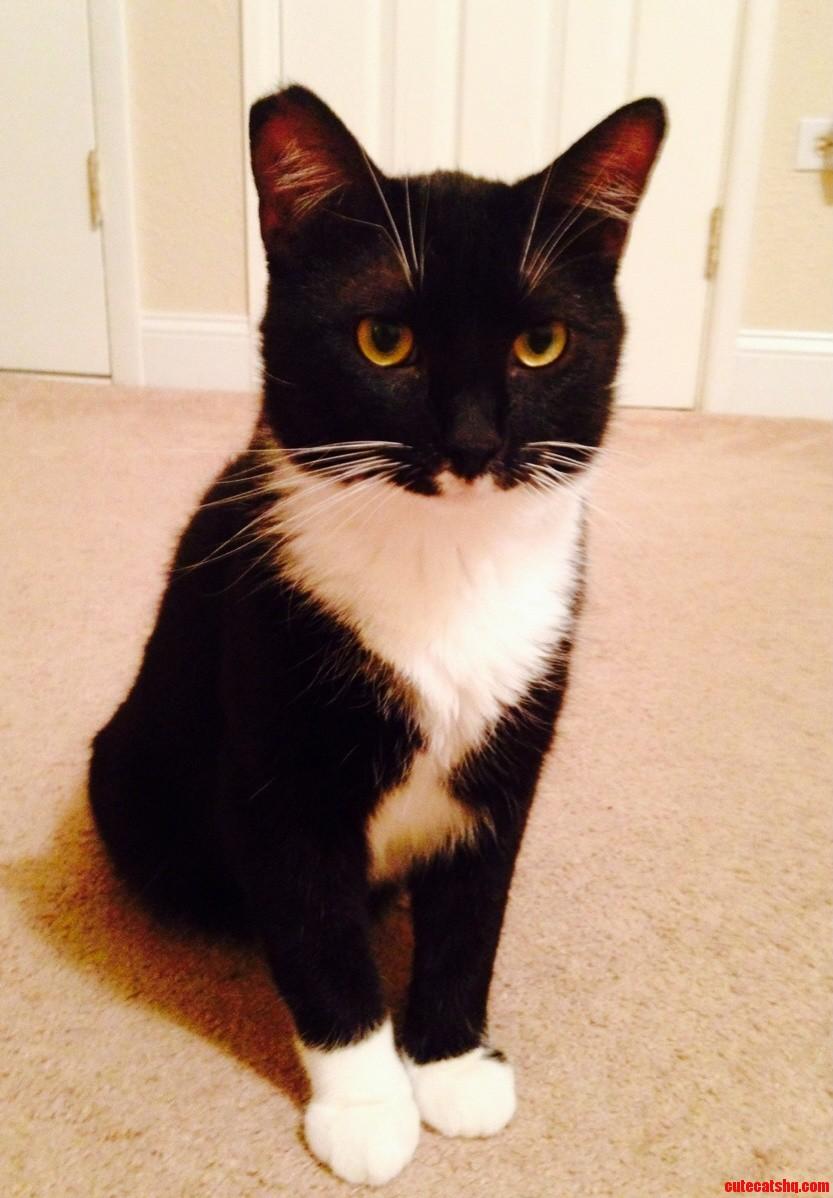 My rescued tuxedo cat mittens