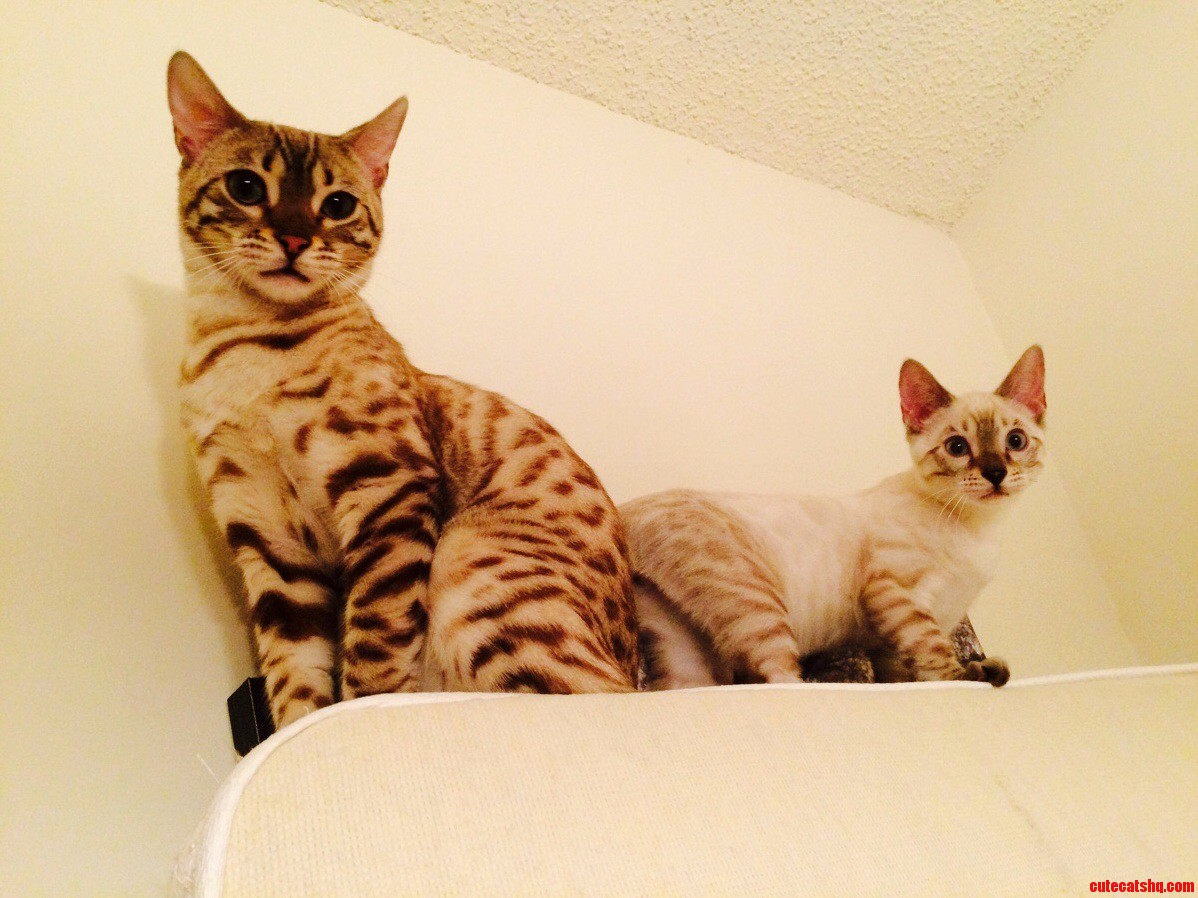 Our two bengals.