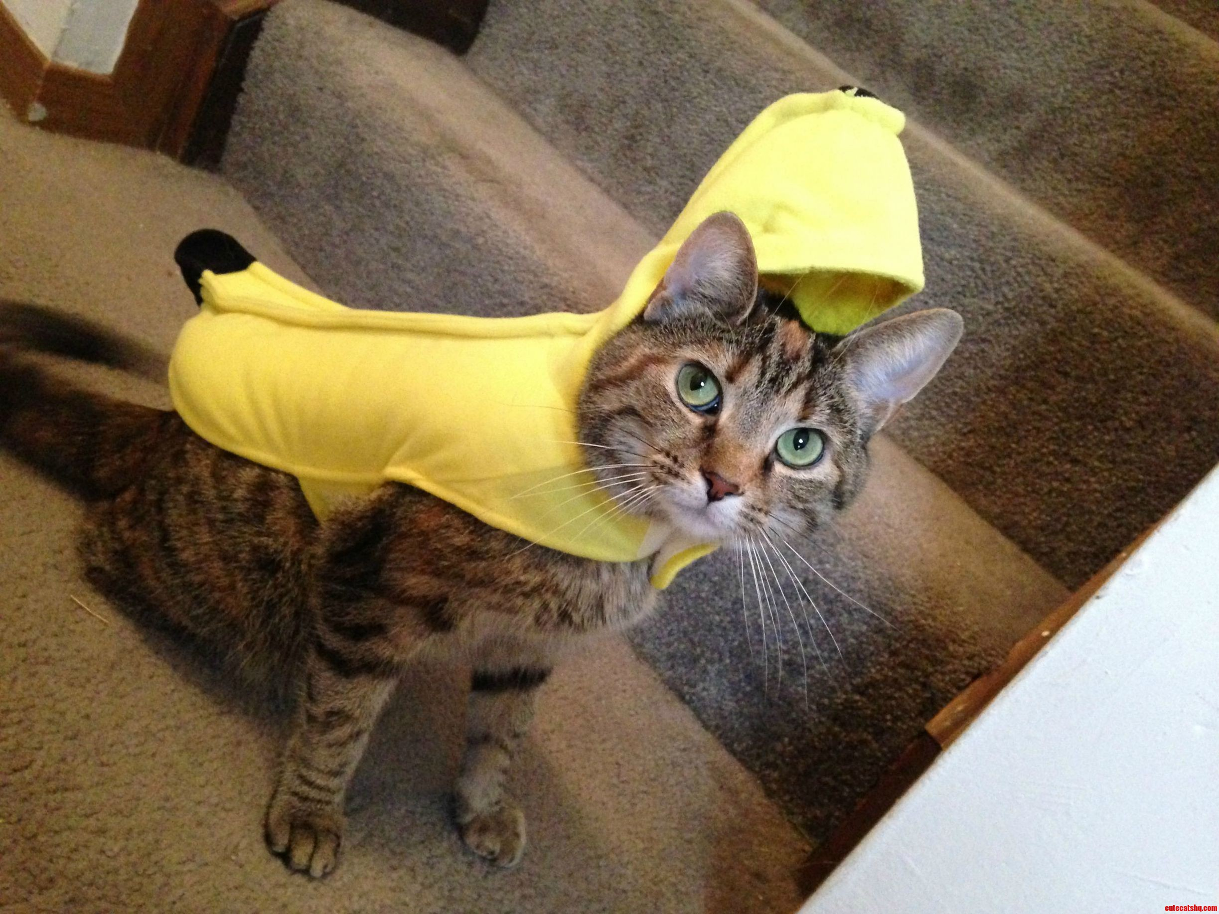So thrilled to be a chi-cat-a banana
