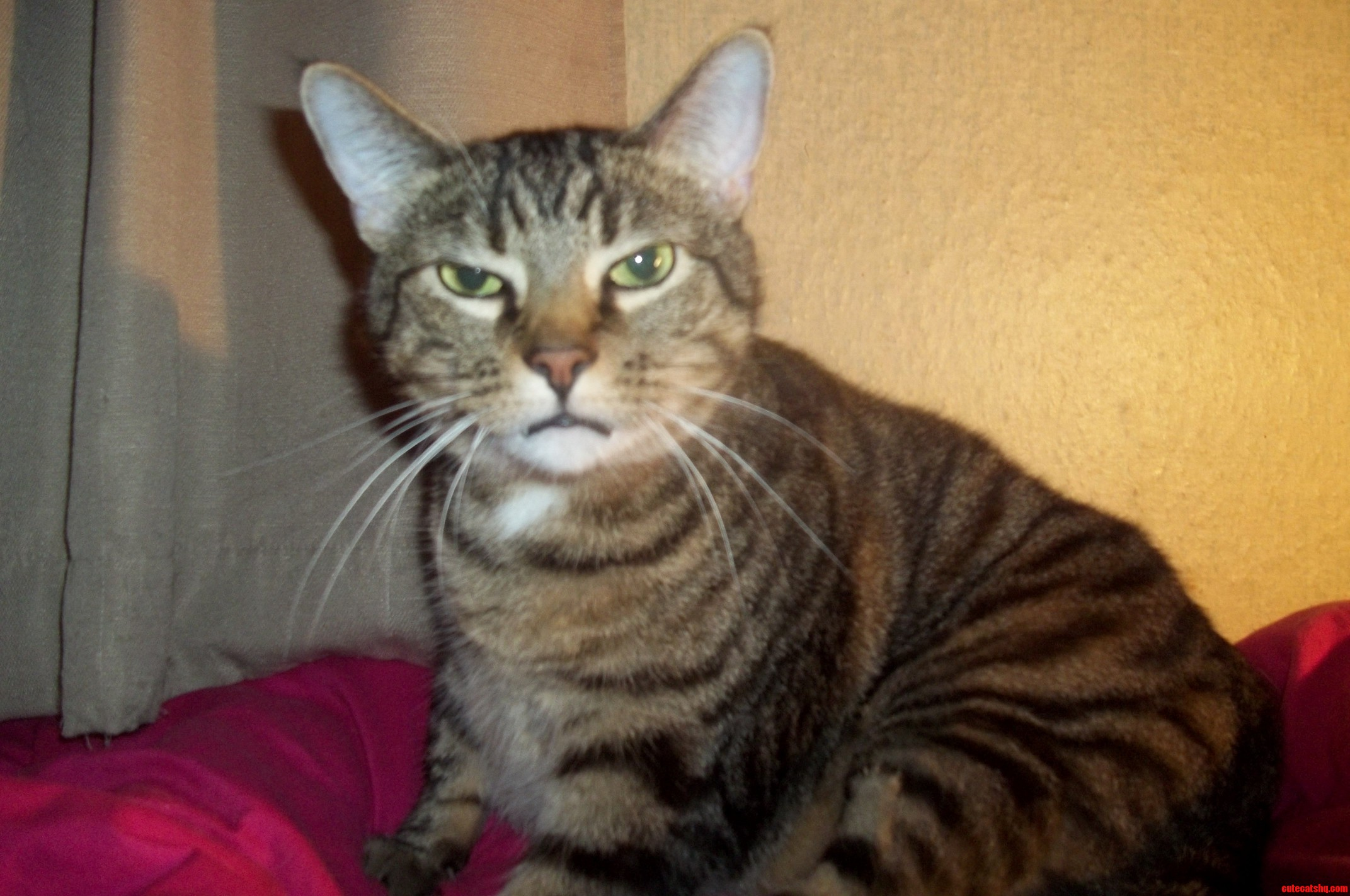 grey tabby kittens for sale essex