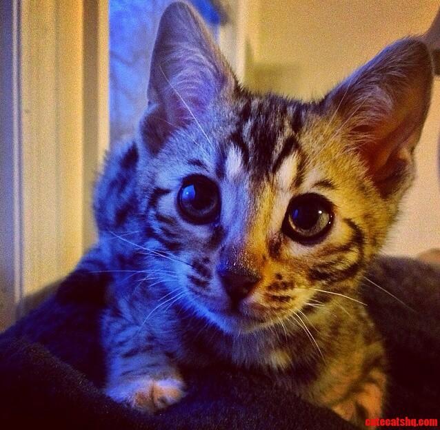 My curious kitten sheeva.