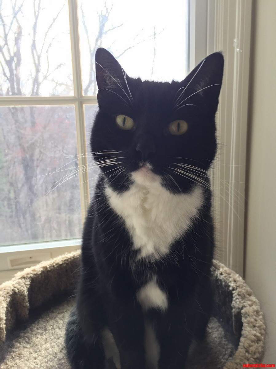 A beautiful tuxedo named Angelica
