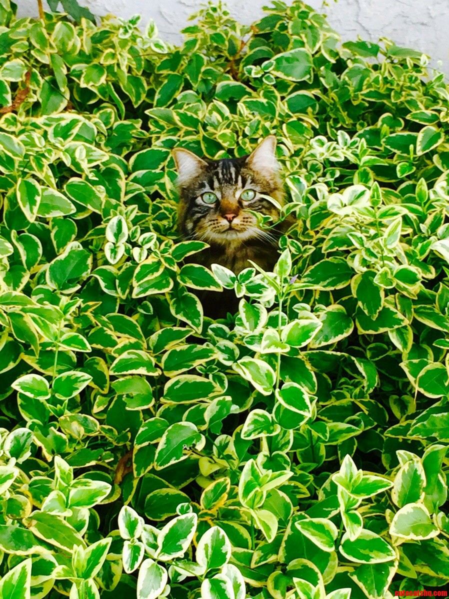 My 2 year old maine coon thor playing in the bushes