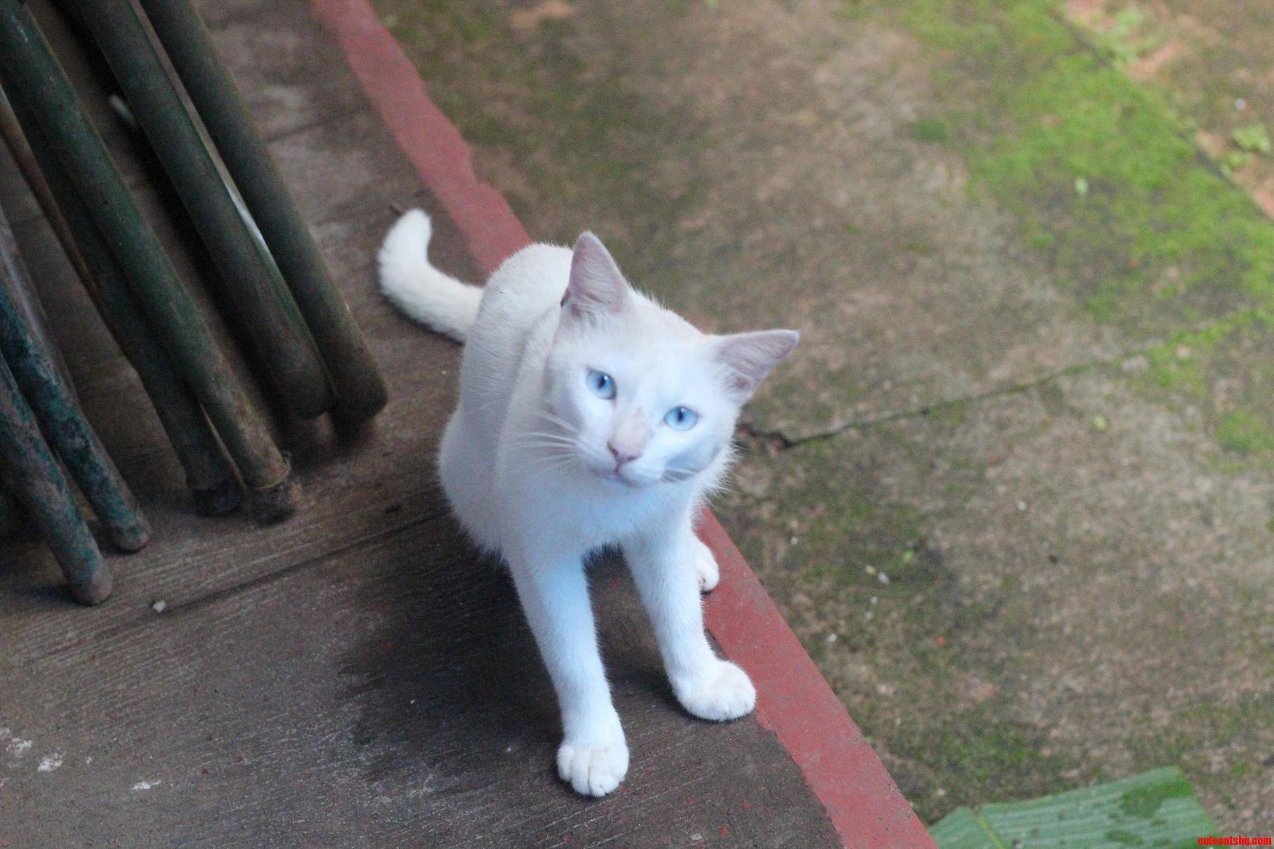 An albino cat with beautiful eyes.