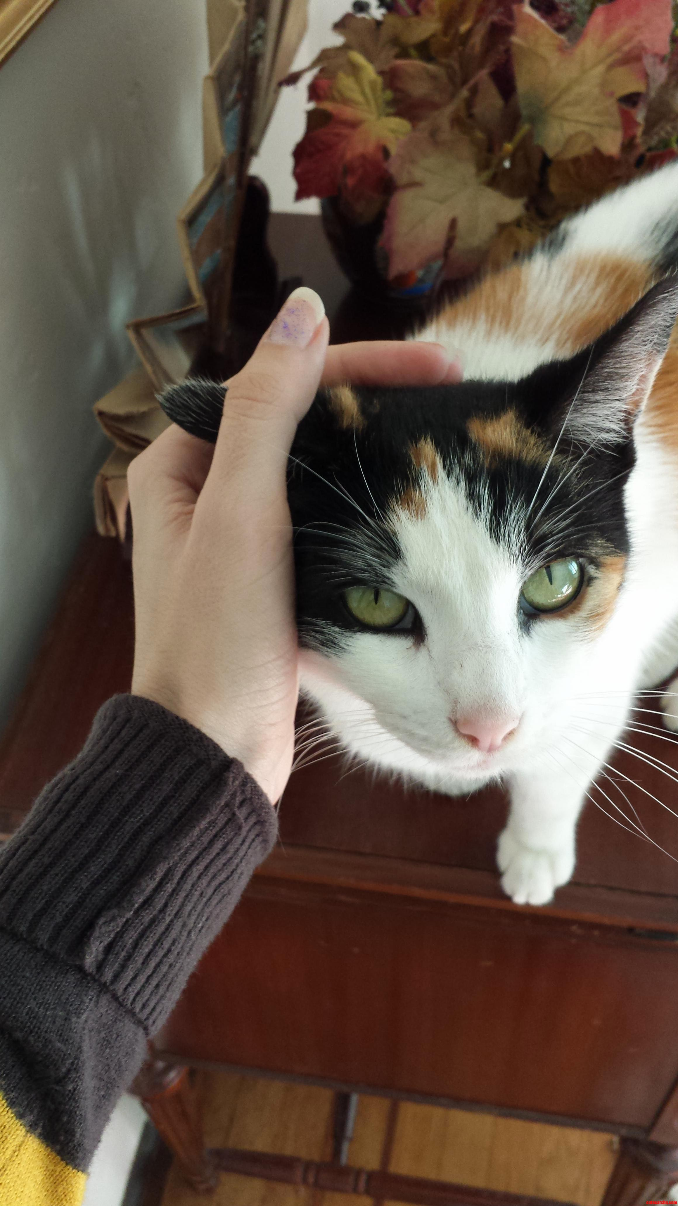 Lady my lovely green-eyed calico.