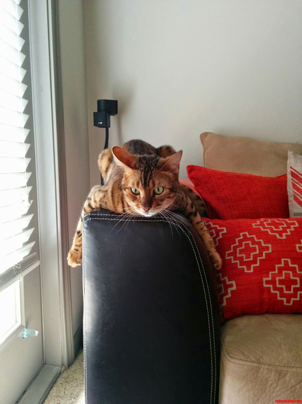 My bengal channeling his inner leopard