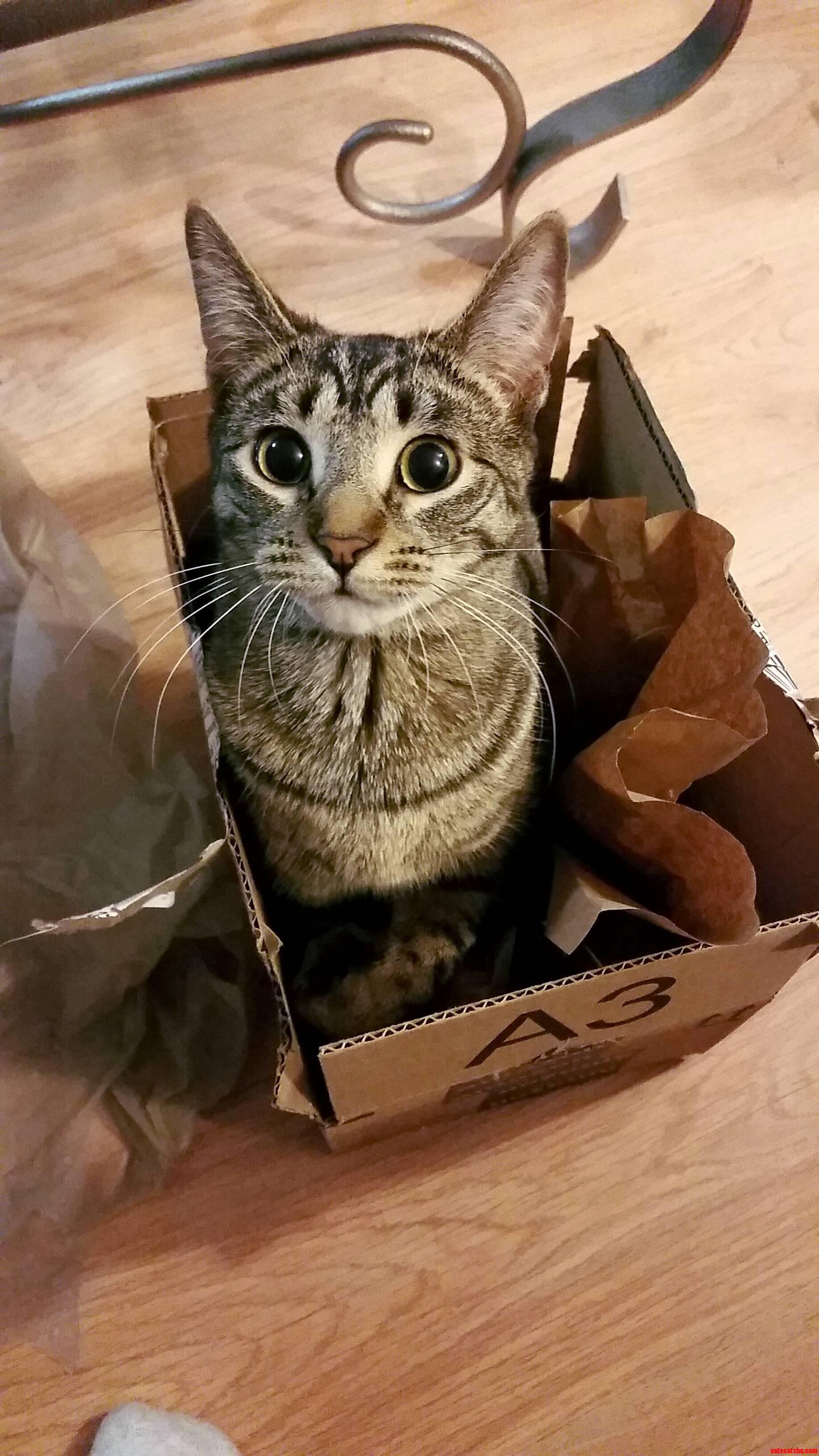 My little amazon box loving kitty. 3