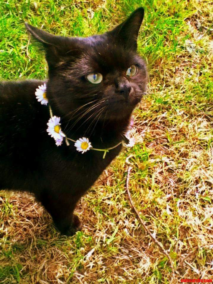 Put a daisy chain around my friends cat. dont think he likes it