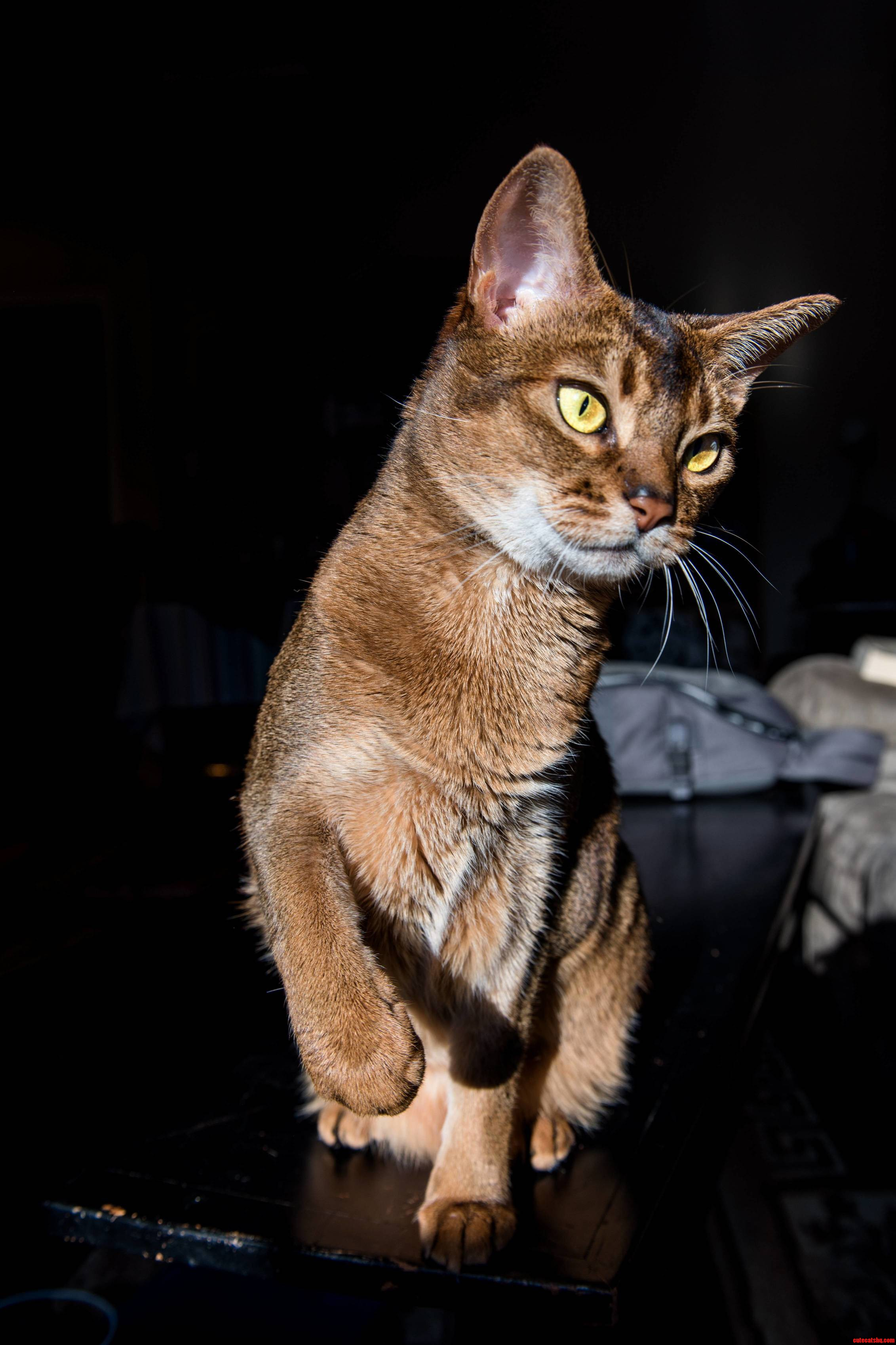 Leia the abyssinian helping me test my new camera