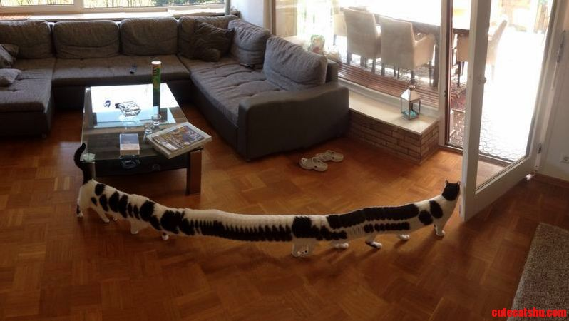 Long cat is incredibly long