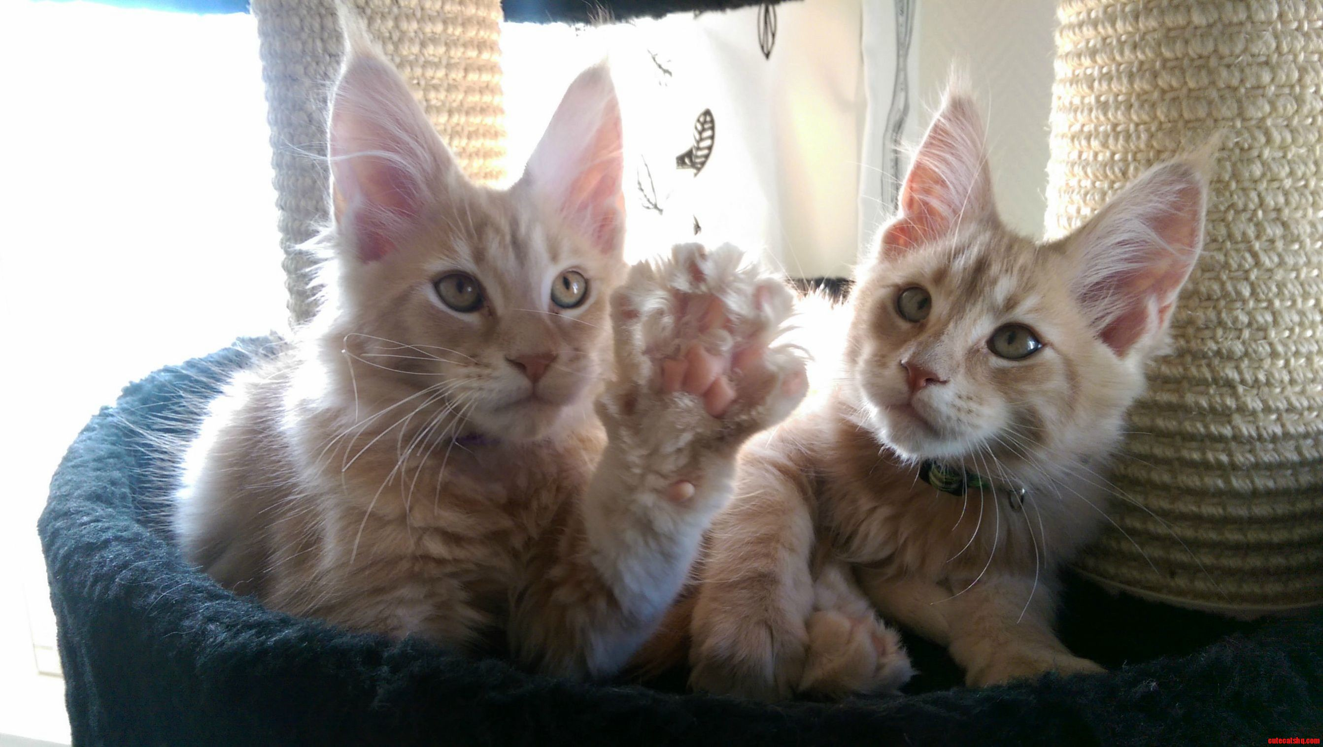 Brought home our two maine coon kittens last night. meet mulder and kjell
