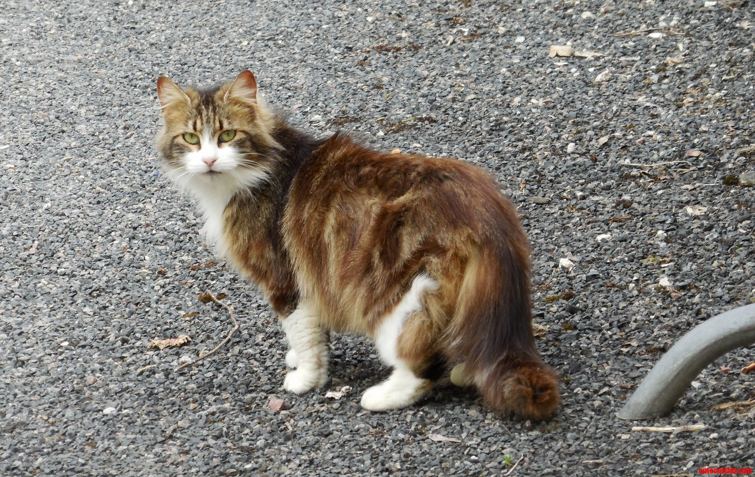 Long haired stray cat