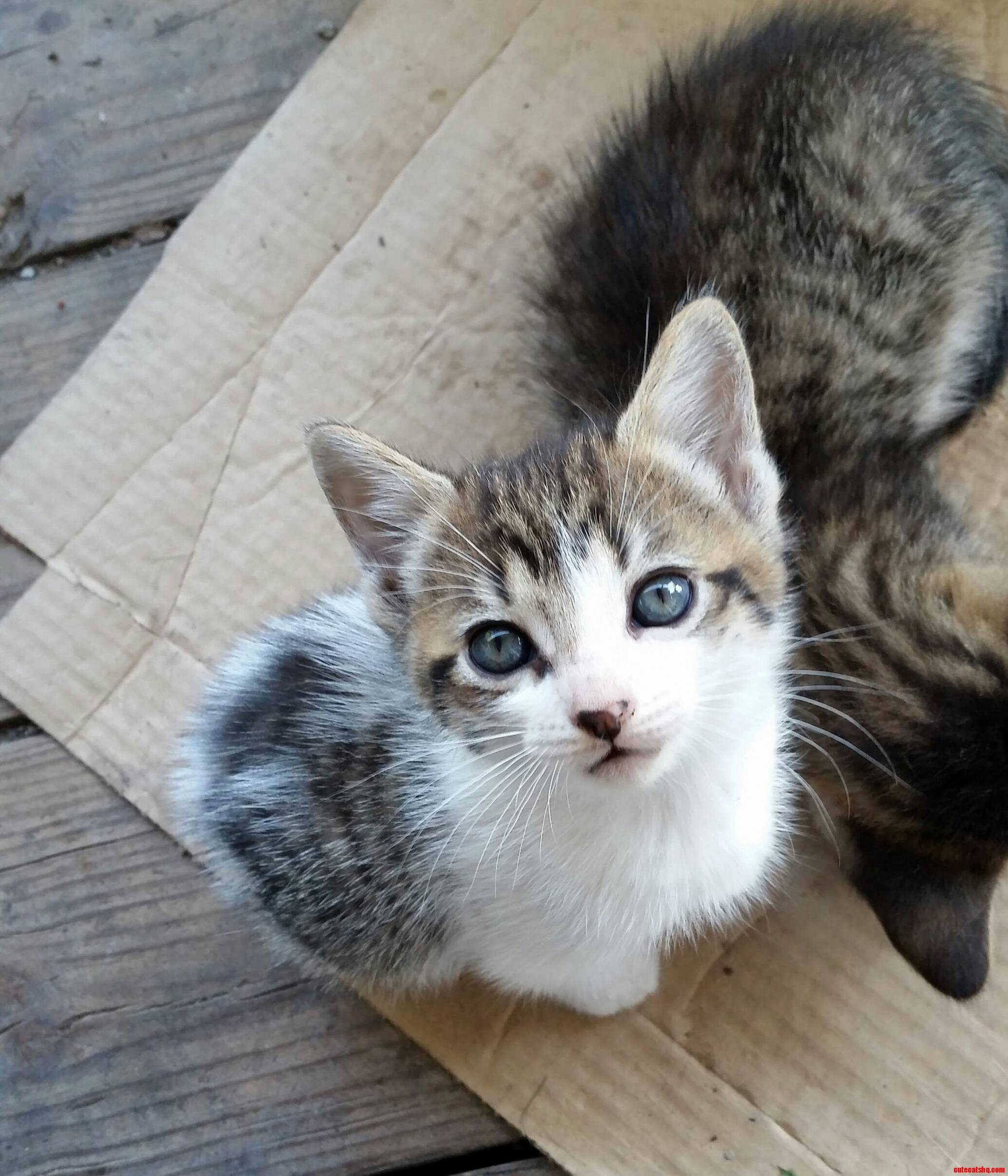 Six week old cute kitten