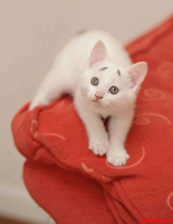 8-week-old beautiful kitten…
