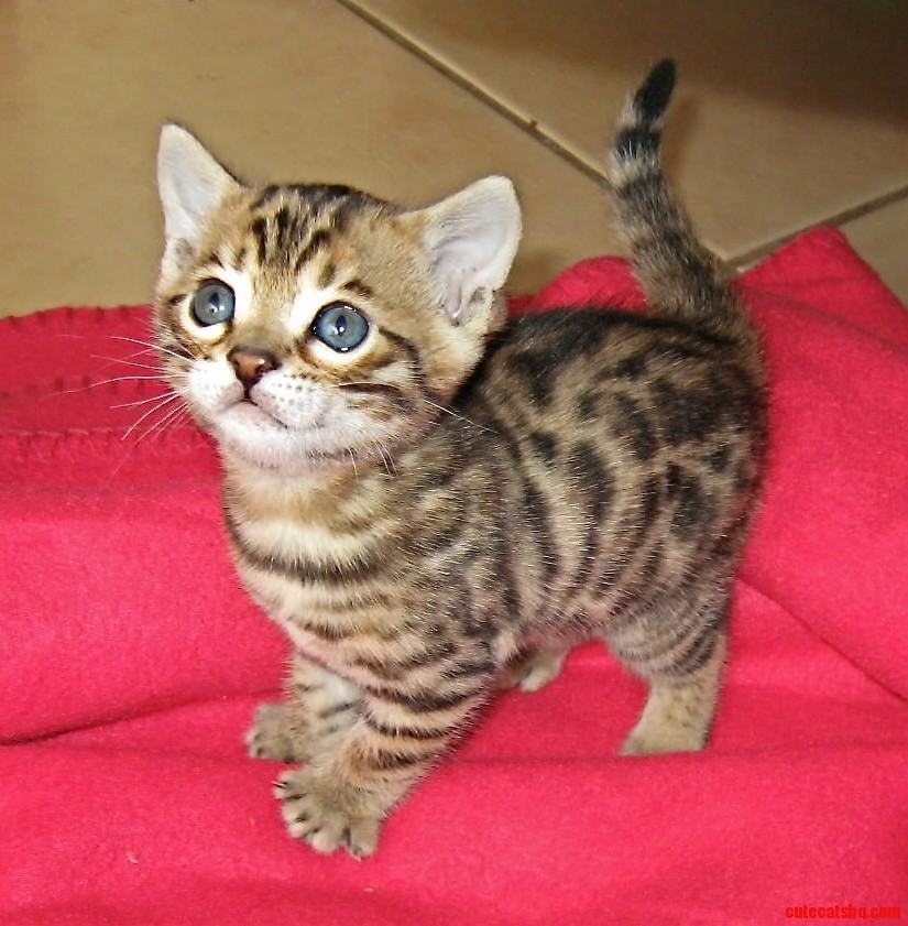 A very cute bengal kitten