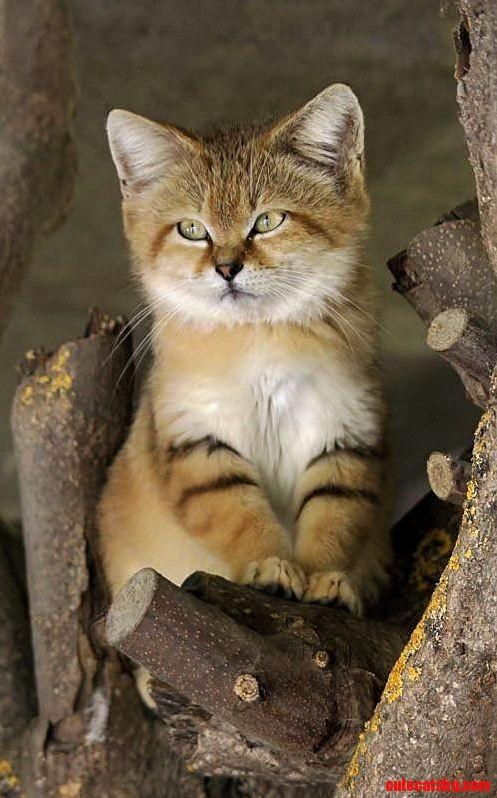 Desert kitten…