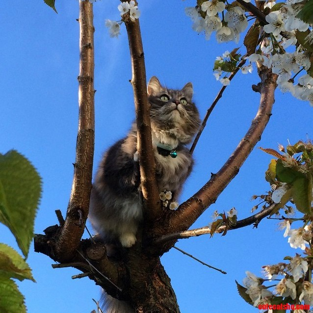 Gr pus climbing our wild cherry tree