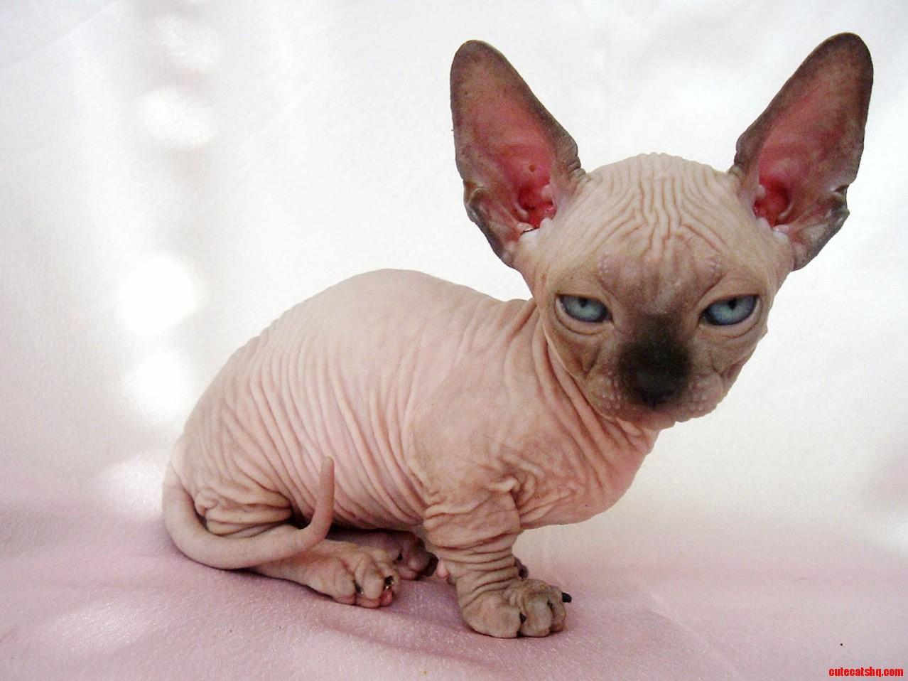 Hairless munchkin cat
