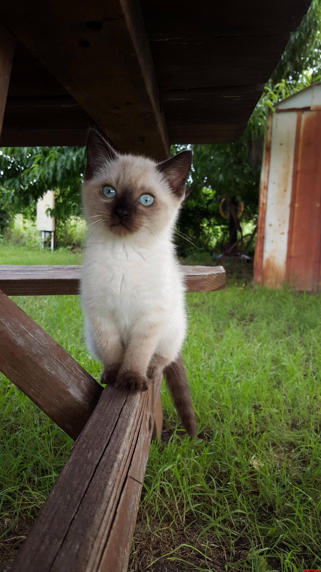Meet with Siamese…