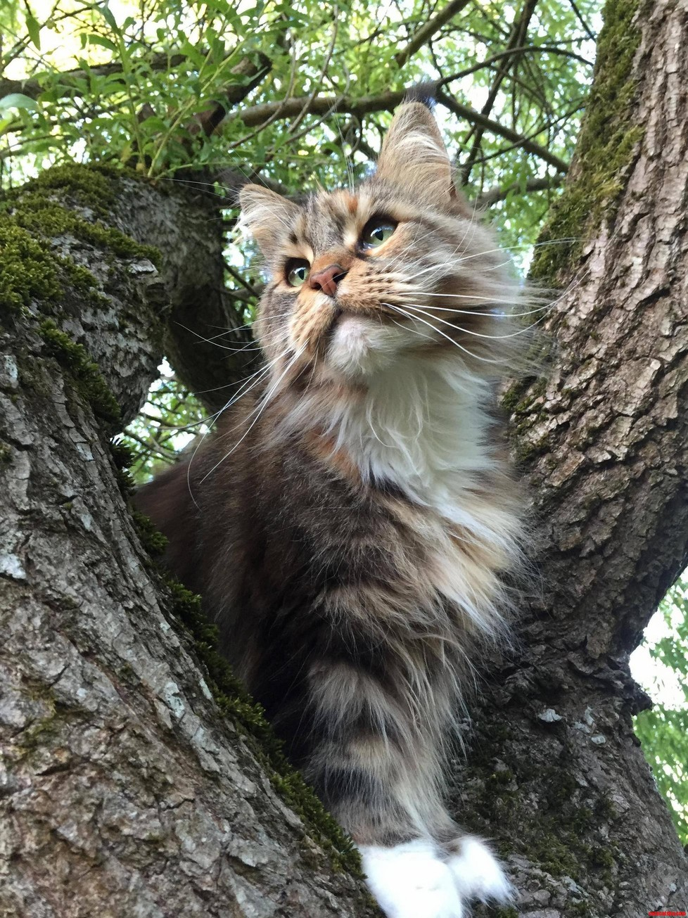 My cat Beatrice effortlessly photogenic maine coon fool that she is.
