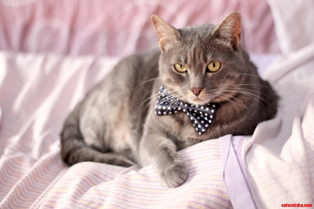 My cat looks really sophisticated in his new bow tie