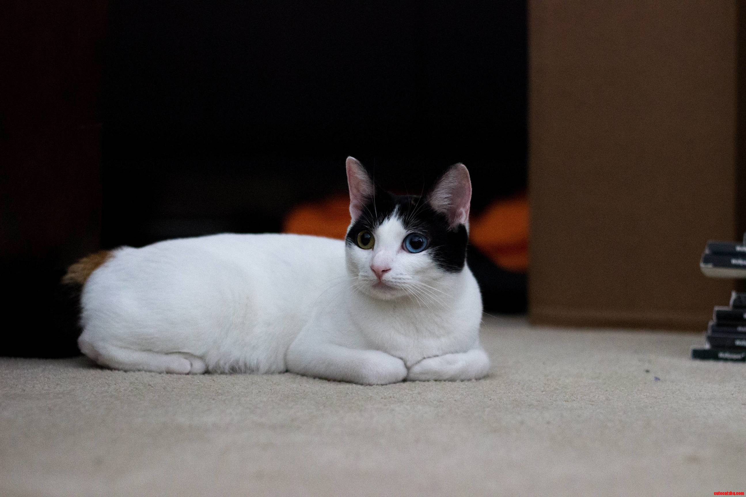 My friends japanese bobtail has different colored eyes ...