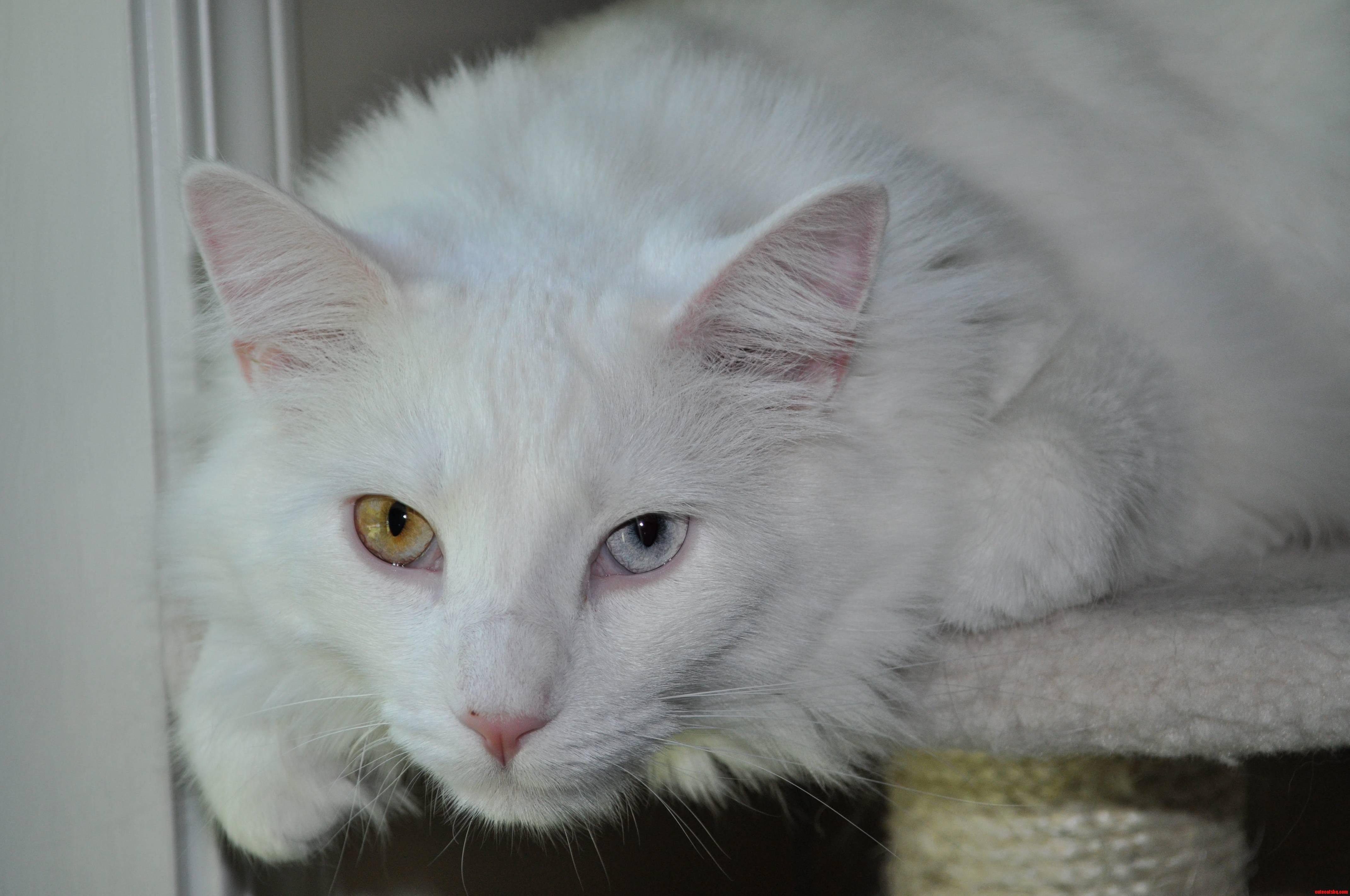 My handsome kitty with heterochromia