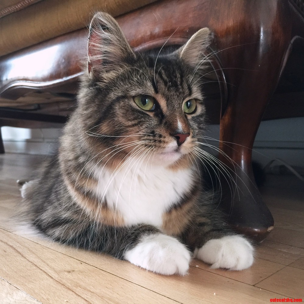 Newly adopted 8 months old stella a norwegian forest cat.