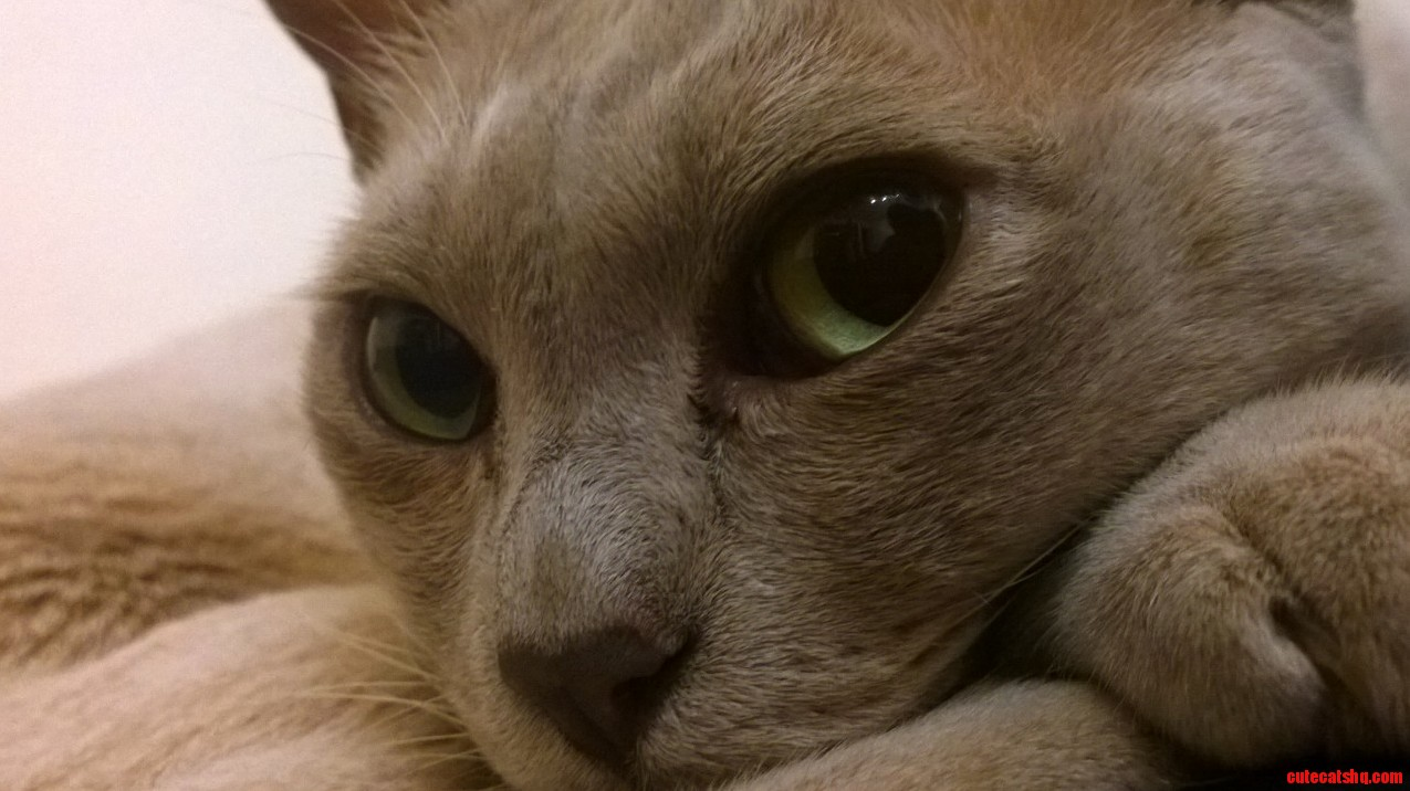 This is the neighbours beautiful burmese he visits every night.