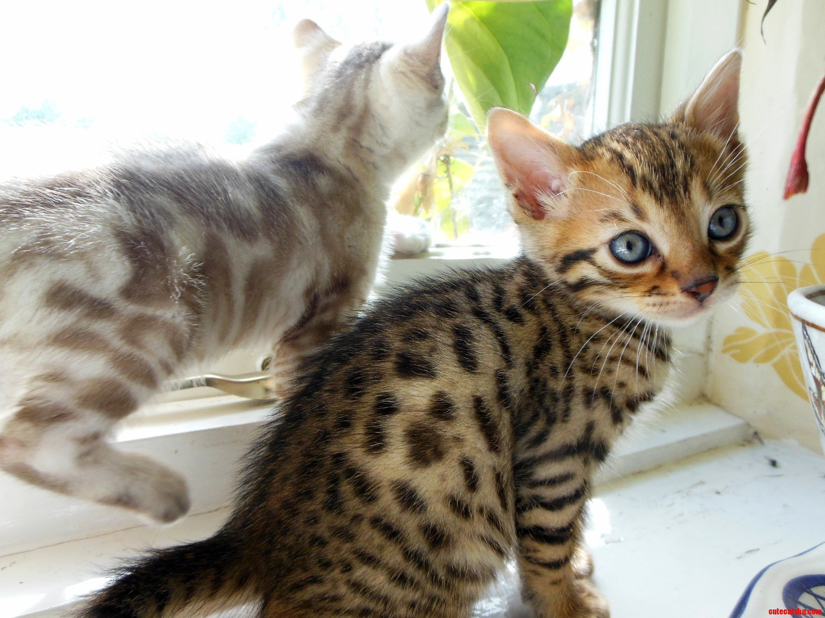 We breed bengals – these are the latest babies