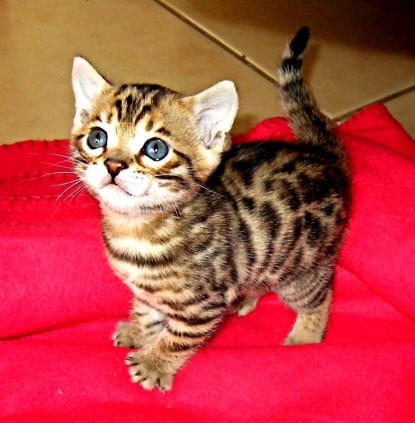 A very cute bengal kitten