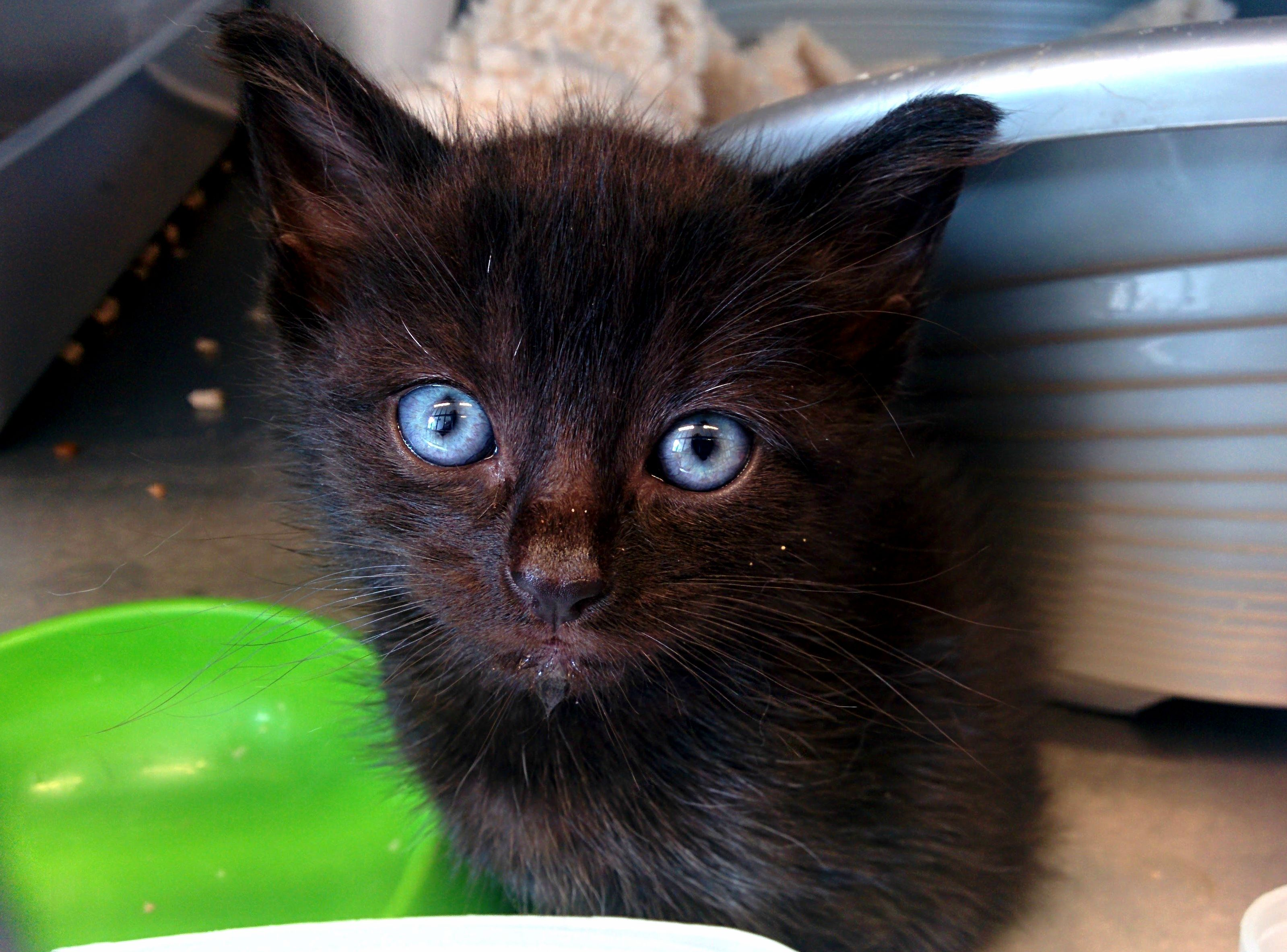Black furball with blue eyes from the shelter where i volunteer