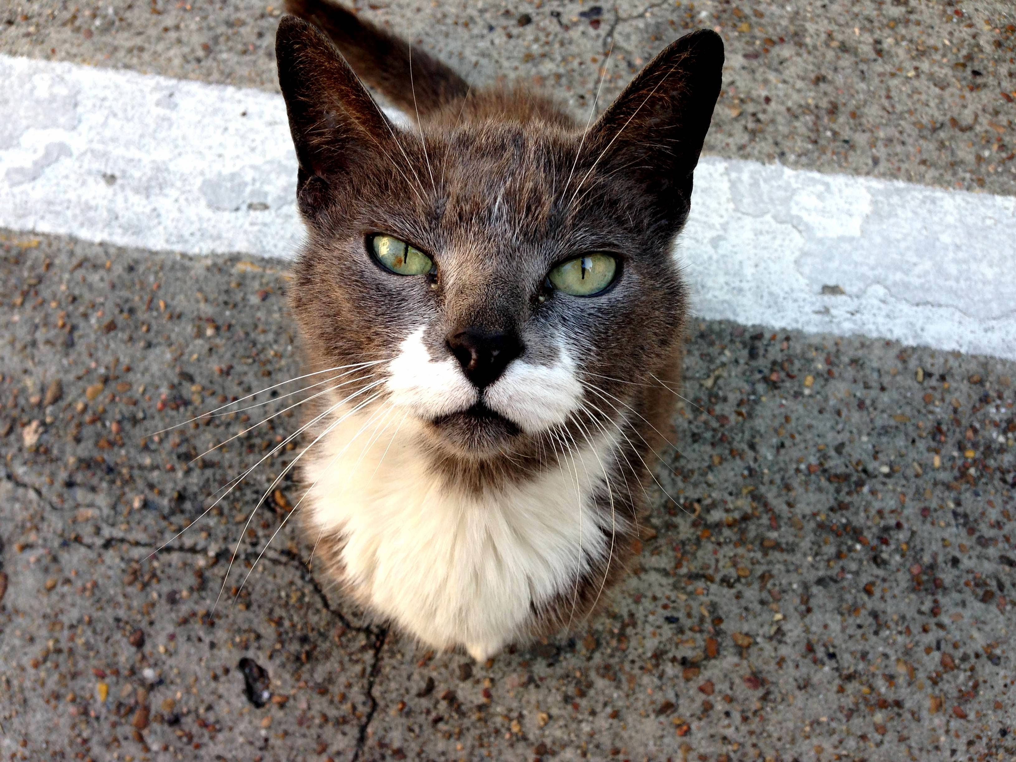 Gentleman cat has perfect moustachebeard. resident of galveston tx.