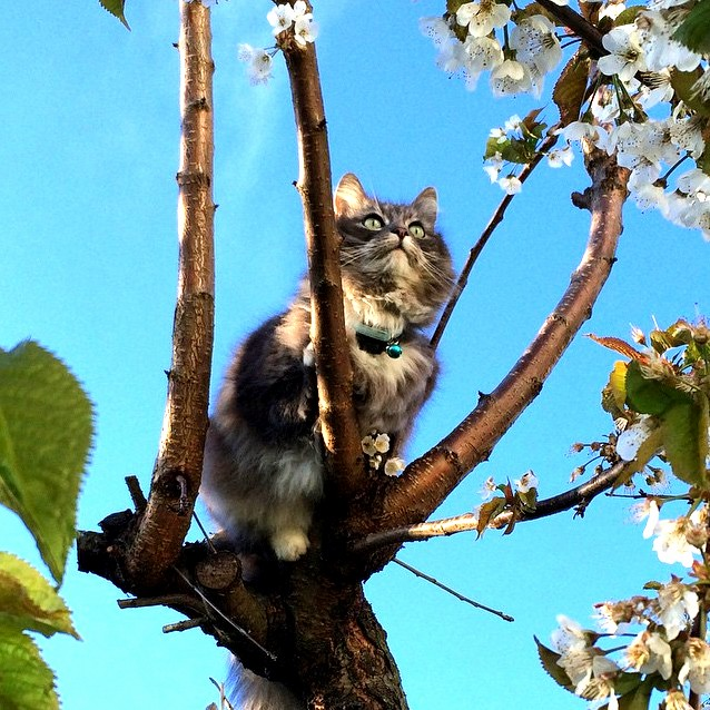 Gr pus climbing our wild cherry tree