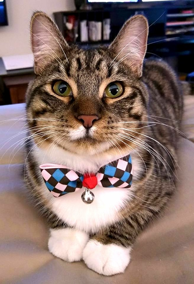 Leo looks spiffy wearing his new bowtie