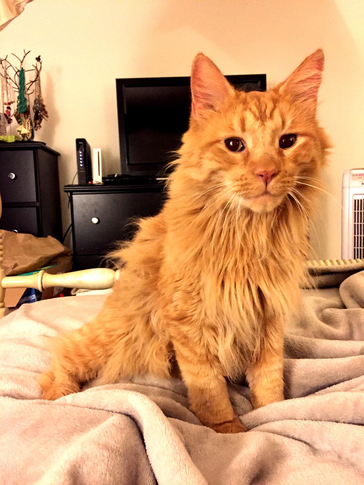 Meet leo the three-legged mini lion.