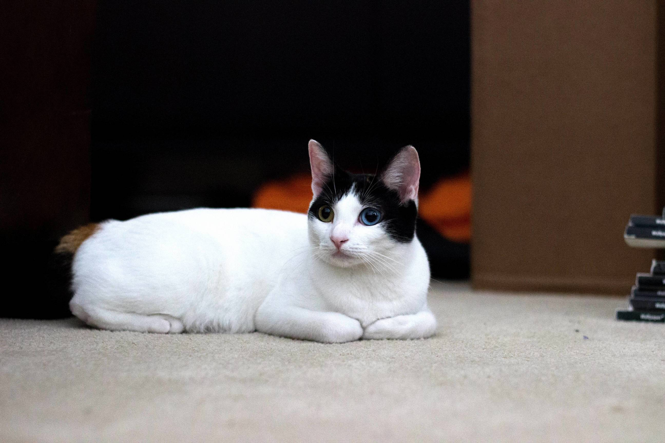 My friends japanese bobtail has different colored eyes