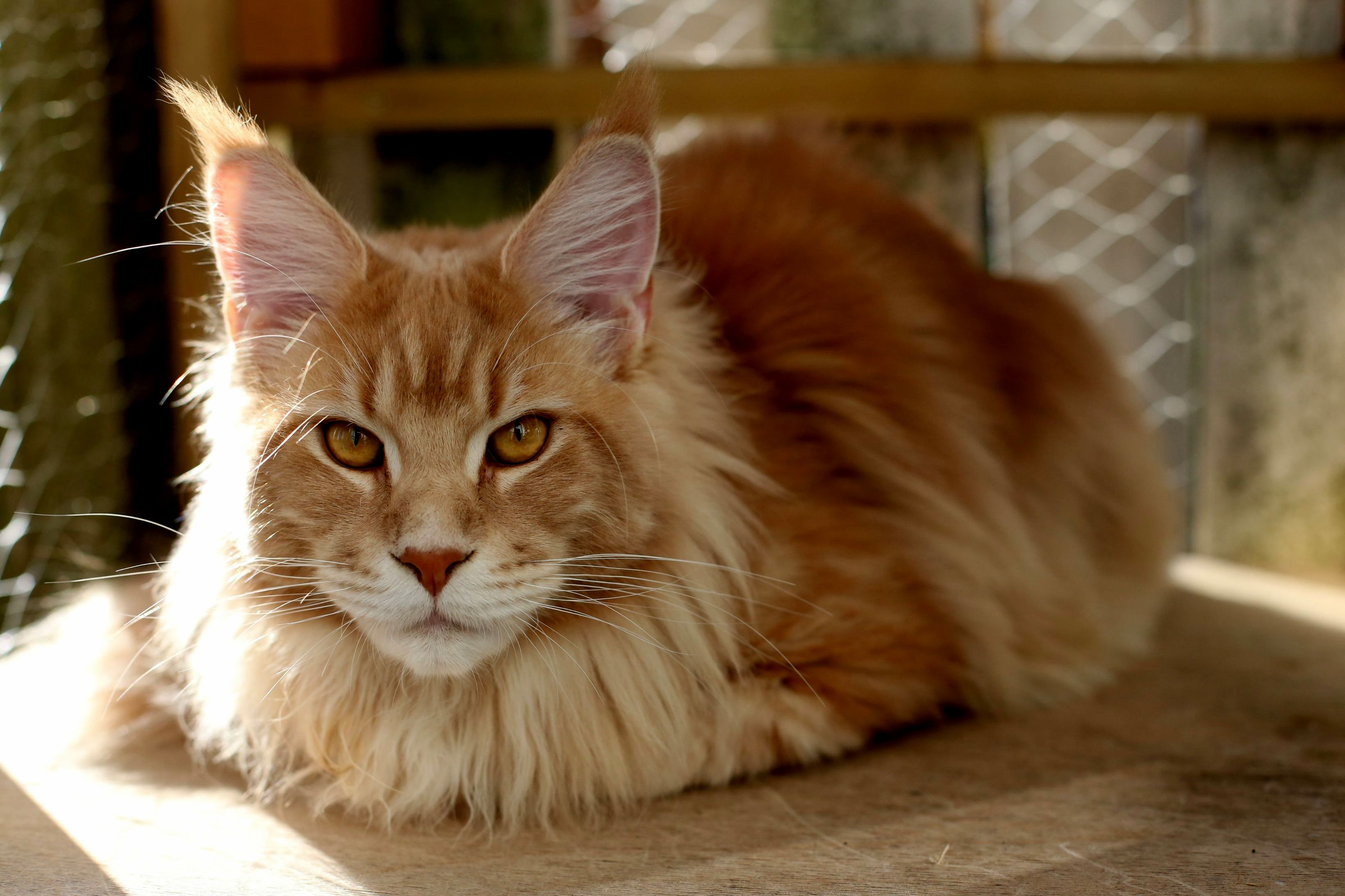 My maine coon loafing in a sun beam