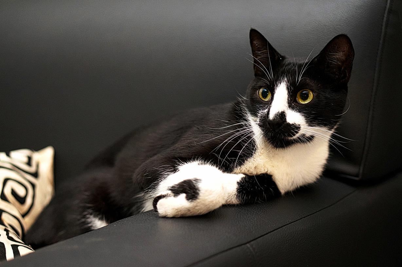 My tuxedo cat is alert