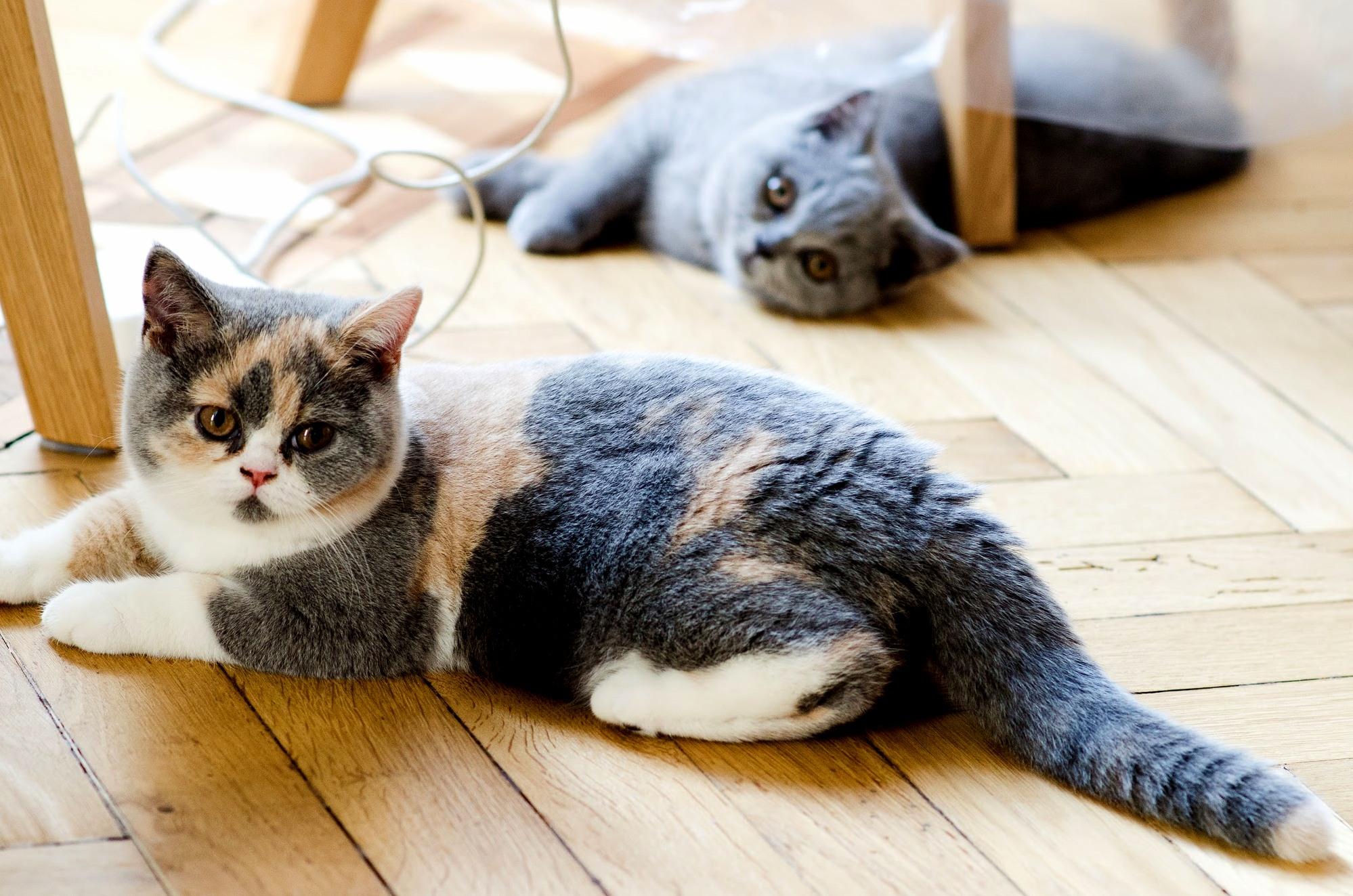 My two british shorthair kittens