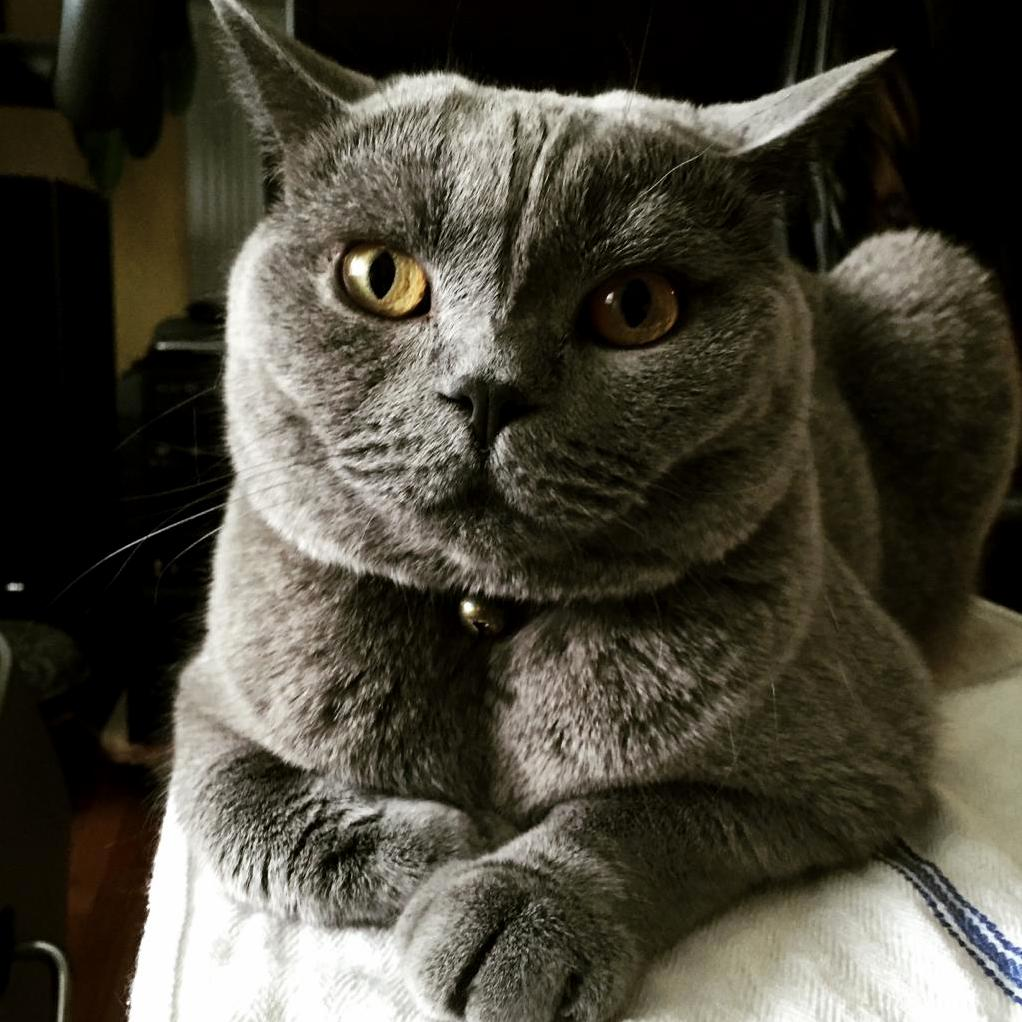 Rain day baxter british shorthair