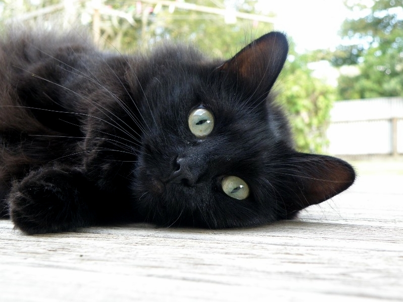 Some people say that black cats dont photograph well. i beg to differ