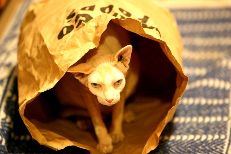 Just a hairless cat sphynx in a bag.