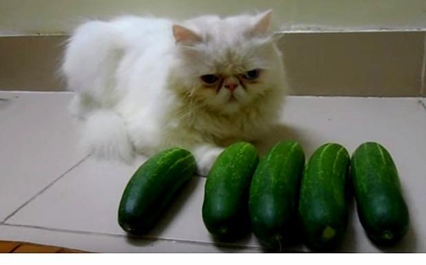 Cat vs cucumber