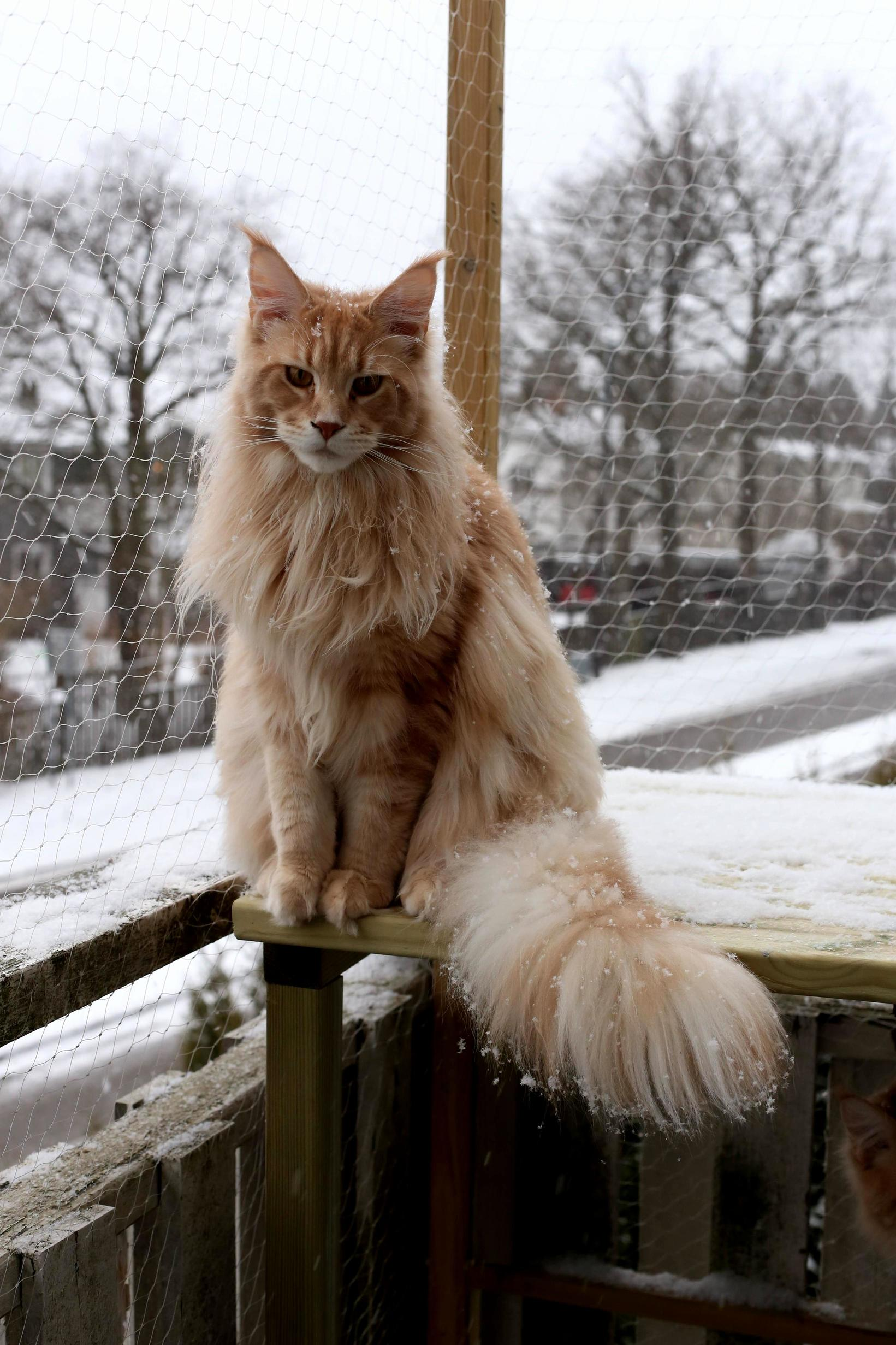Maine coon in the snow x-post from rmainecoons